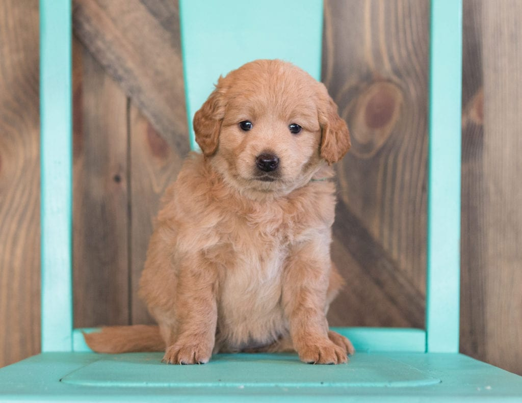Mini Goldendoodle Puppy Already Sold Fini