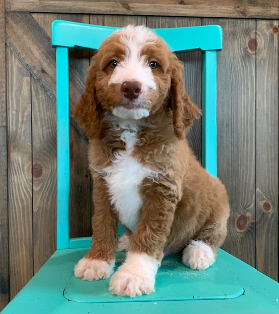 A picture of a Ezo, one of our Mini Goldendoodles puppies that went to their home in North Dakota
