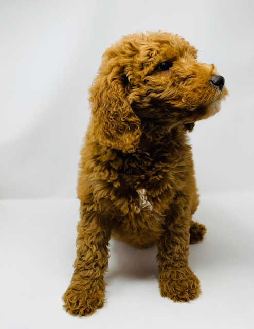 Ezra is an F1B Goldendoodle that should have  and is currently living in Iowa