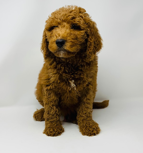 Ezra came from Leia and Scout's litter of F1B Goldendoodles