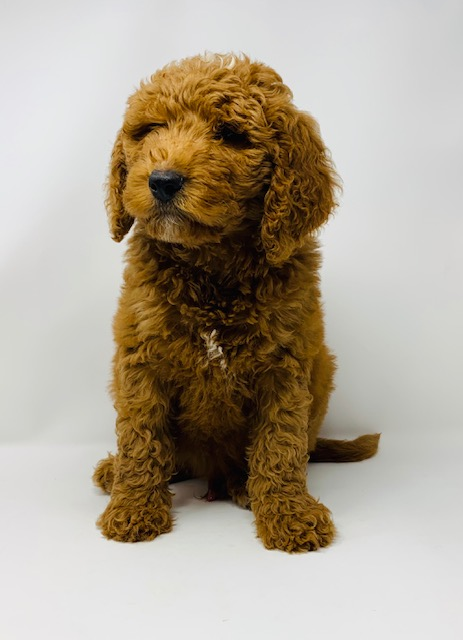 A picture of a Ezra, one of our Mini Goldendoodles puppies that went to their home in Iowa