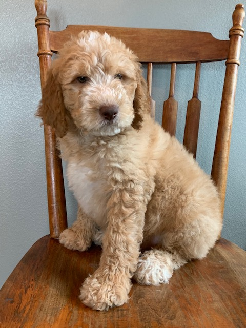 A picture of a Exel, one of our Mini Goldendoodles puppies that went to their home in Iowa