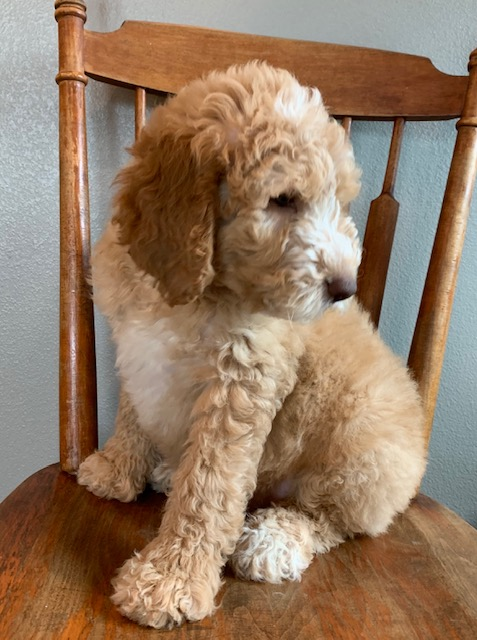 Exel is an F1B Goldendoodle that should have  and is currently living in Iowa