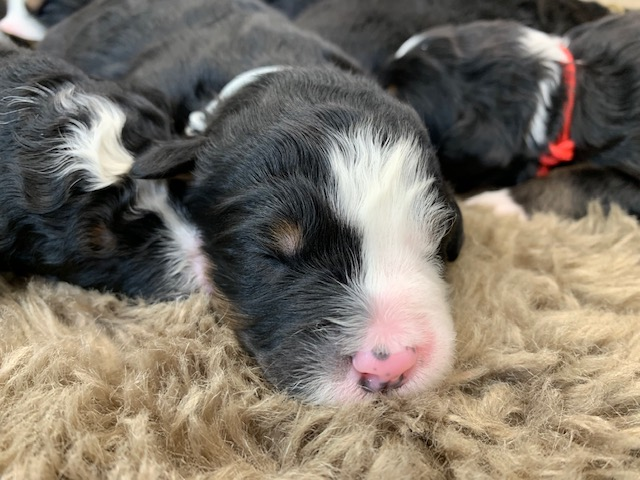Another pic of our recent Bernedoodle litter