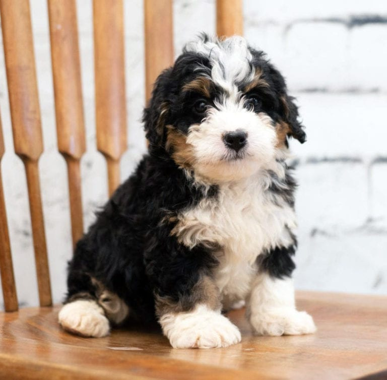 A tiny Bernedoodle perched on a chair - adorable!