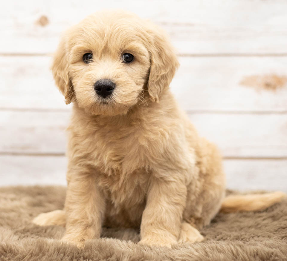 A light golden colored mini goldendoodle