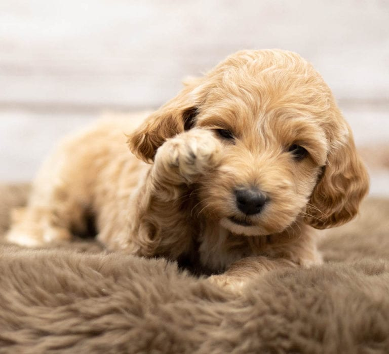 A very young standard Goldendoodle pup playing around