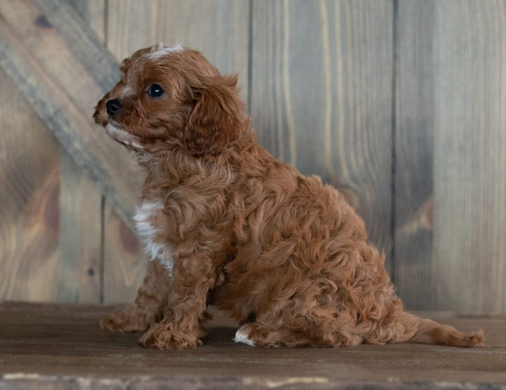 Harold is an F1 Cavapoo that should have  and is currently living in Nebraska