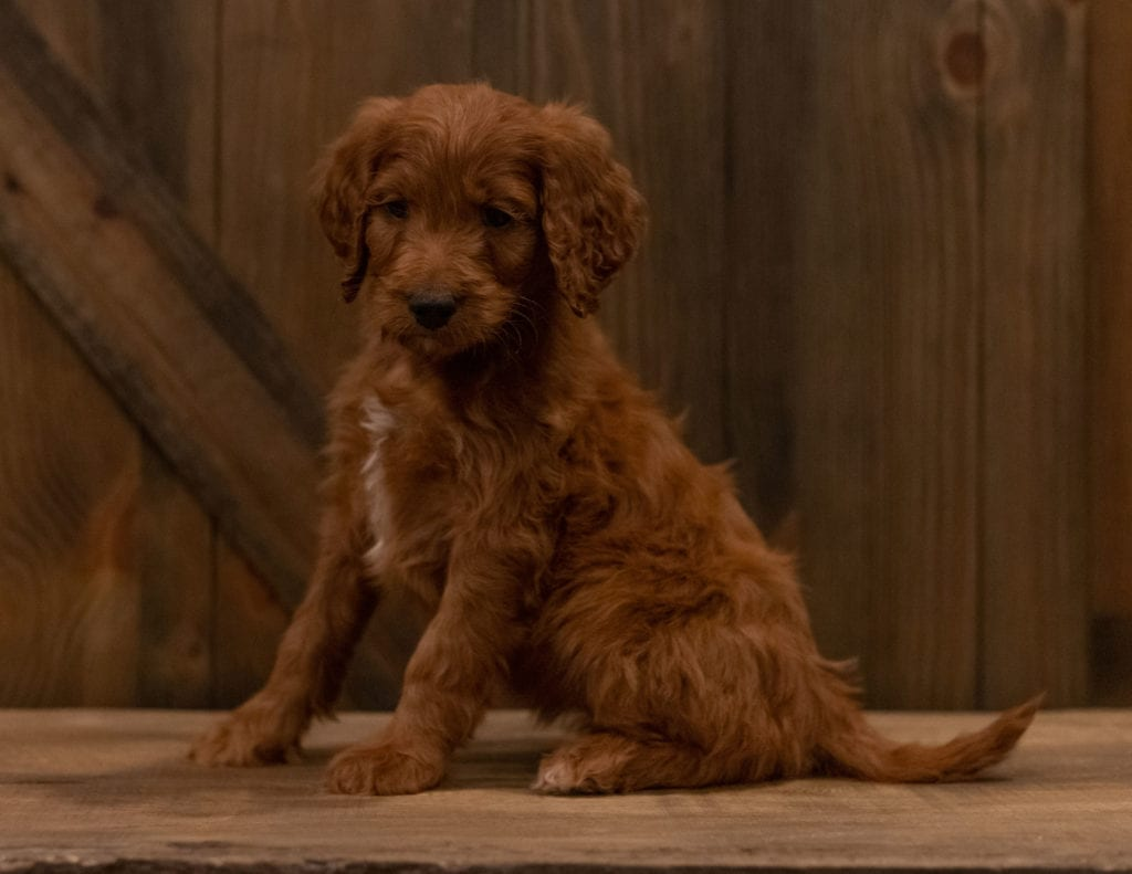 A picture of a Inga, one of our Mini Irish Doodles puppies that went to their home in Iowa