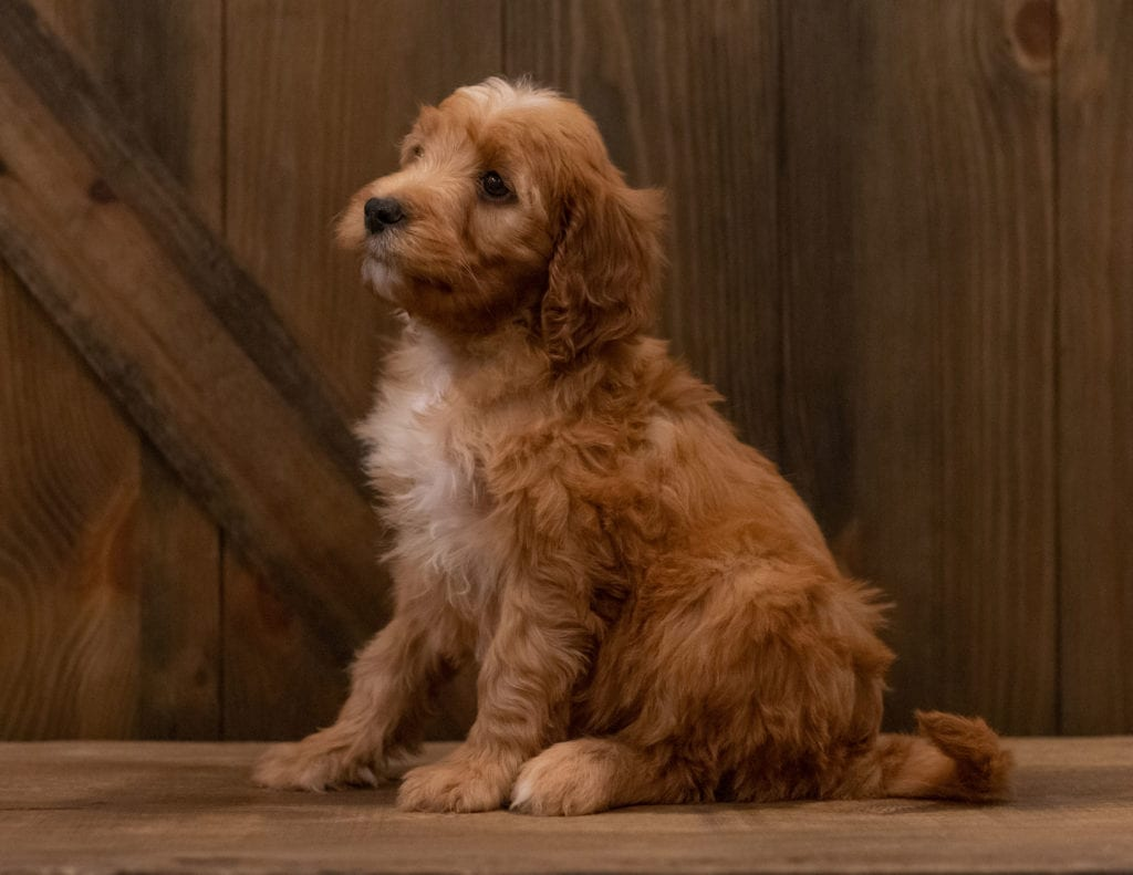 Ivy came from Ginger and Scout's litter of F1 Irish Doodles