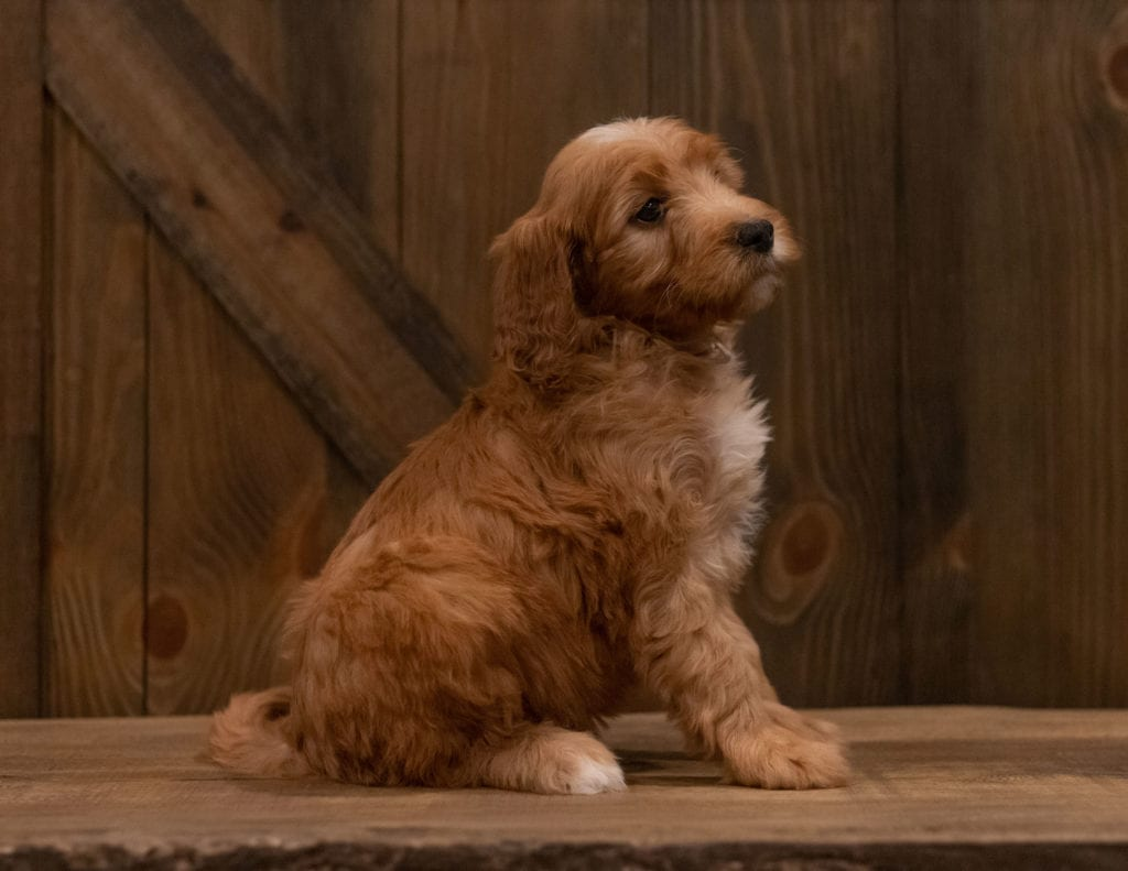 Another great picture of Ivy, a Irish Doodles puppy