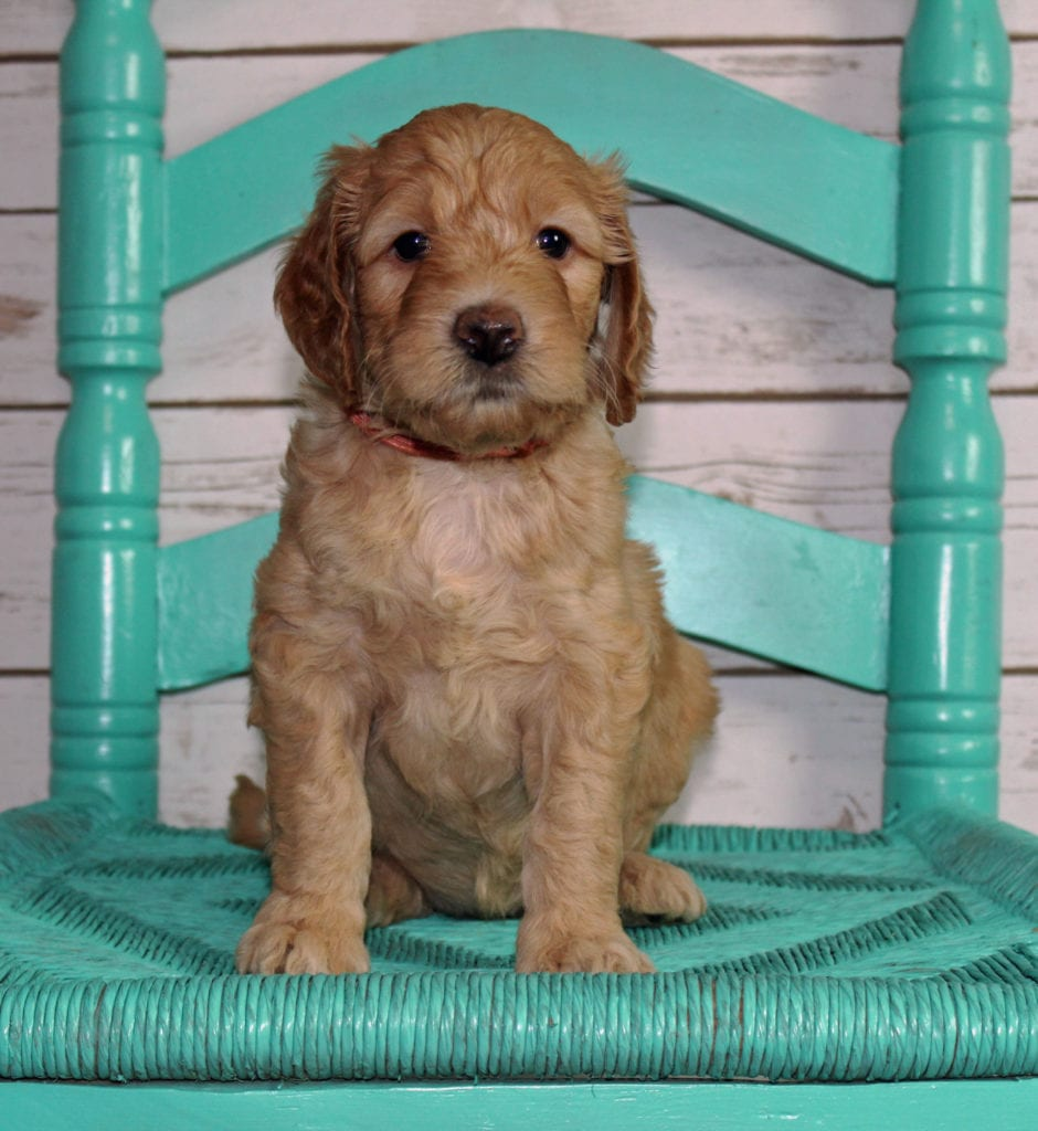 A picture of a Milly, one of our Mini Irish Goldendoodles puppies