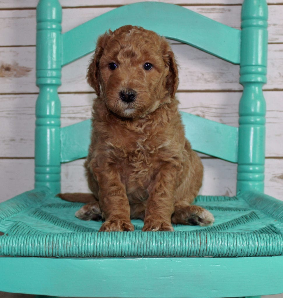 A picture of a Moose, one of our Mini Irish Goldendoodles puppies