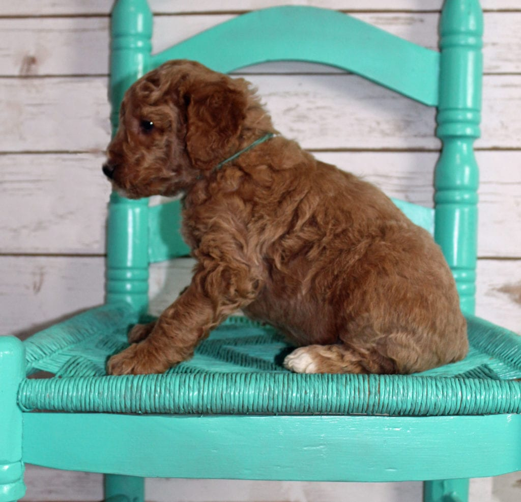 "Moose is an F2B Irish Goldendoodle that will be hypoallergenic. Read more about what a dog being hypoallergenic means on our latest blog post, ""The New Breed Everyone Seems to Want"""