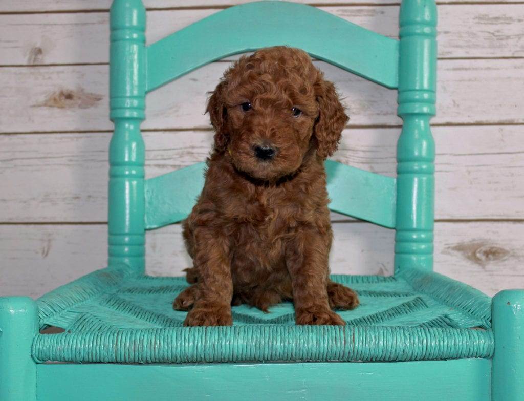 A picture of a Mac, one of our Mini Irish Goldendoodles puppies