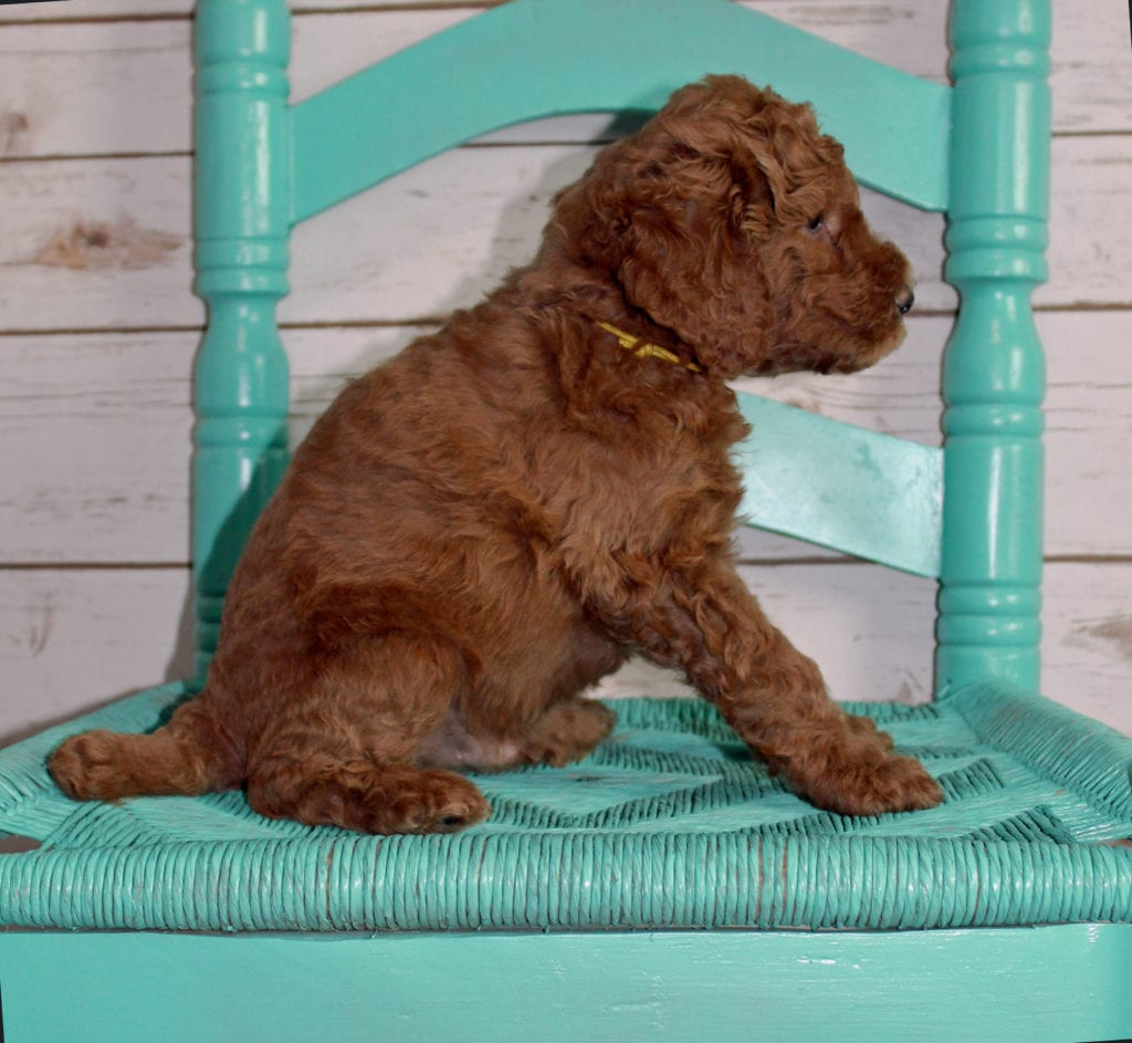 Mac came from Tatum and Murphy's litter of F2B Irish Goldendoodles