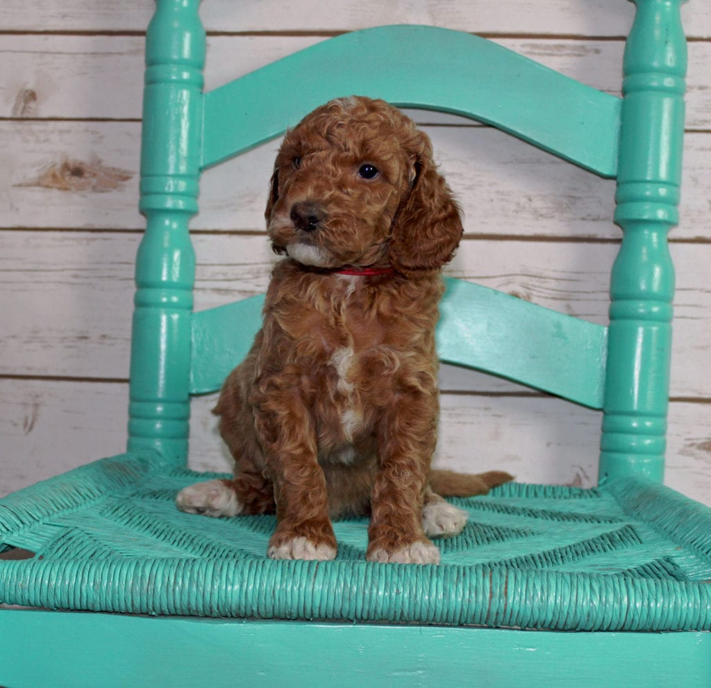 A picture of a Maverick, one of our Mini Irish Goldendoodles puppies that went to their home in Kentucky