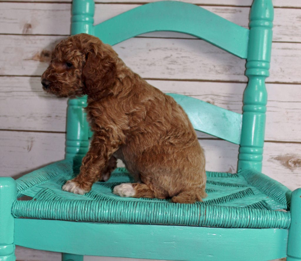 Maverick came from Tatum and Murphy's litter of F2B Irish Goldendoodles