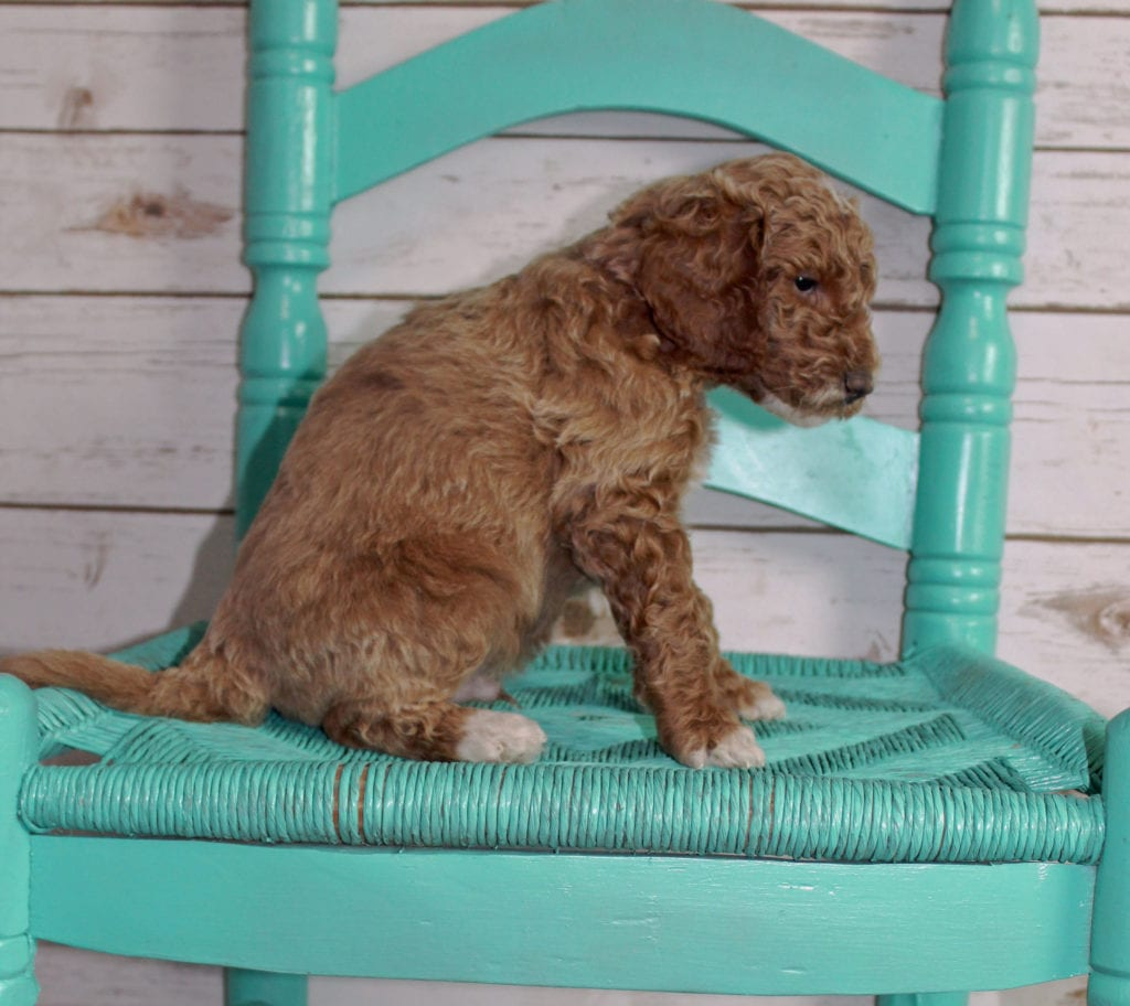 Maverick is an F2B Irish Goldendoodle that should have  and is currently living in Kentucky