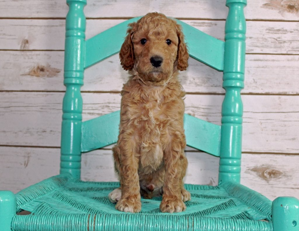 A picture of a Milo, one of our Mini Irish Goldendoodles puppies