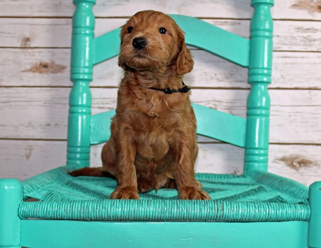 A picture of a Murphy, one of our Mini Irish Goldendoodles puppies