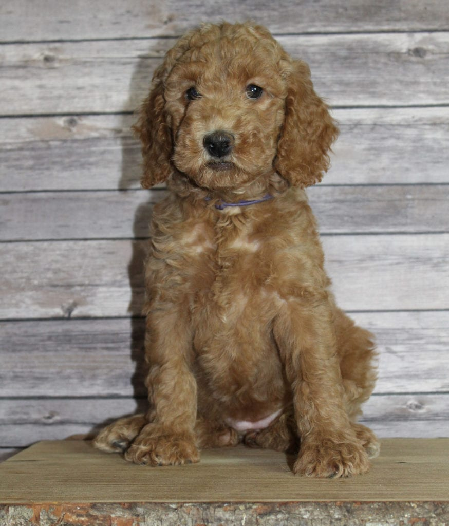 A picture of a Molly, one of our Mini Irish Goldendoodles puppies that went to their home in Nebraska