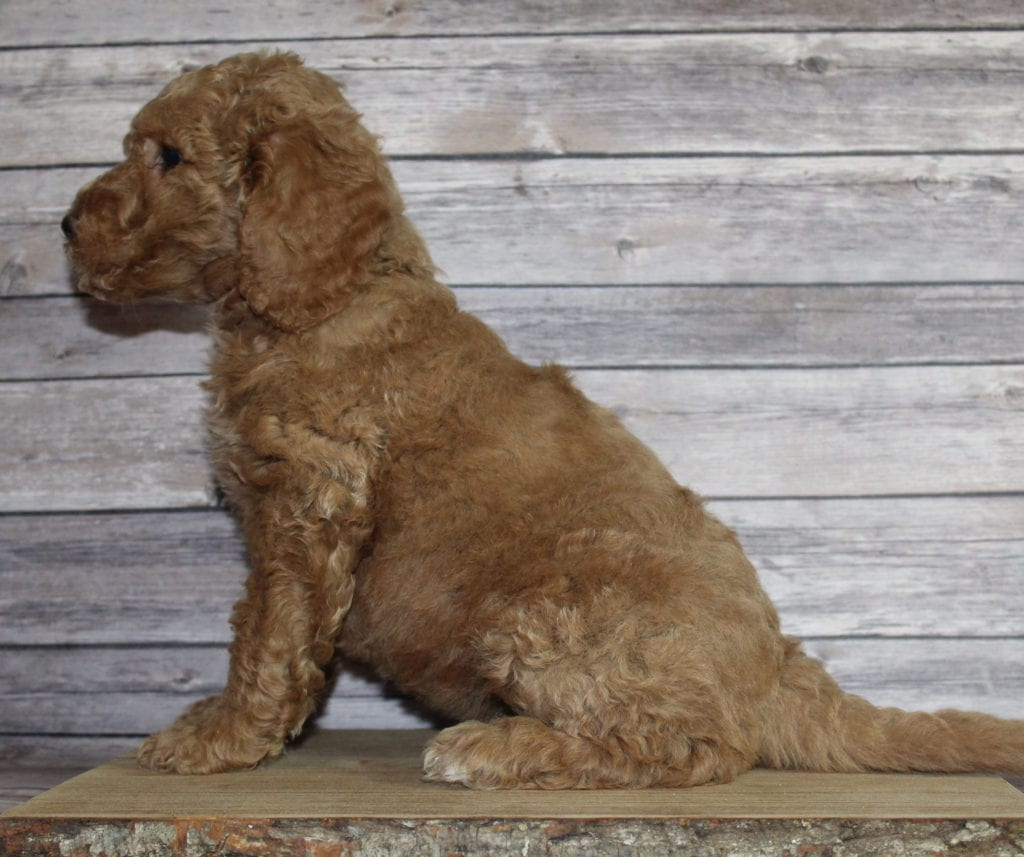 Molly came from Tatum and Murphy's litter of F2B Irish Goldendoodles