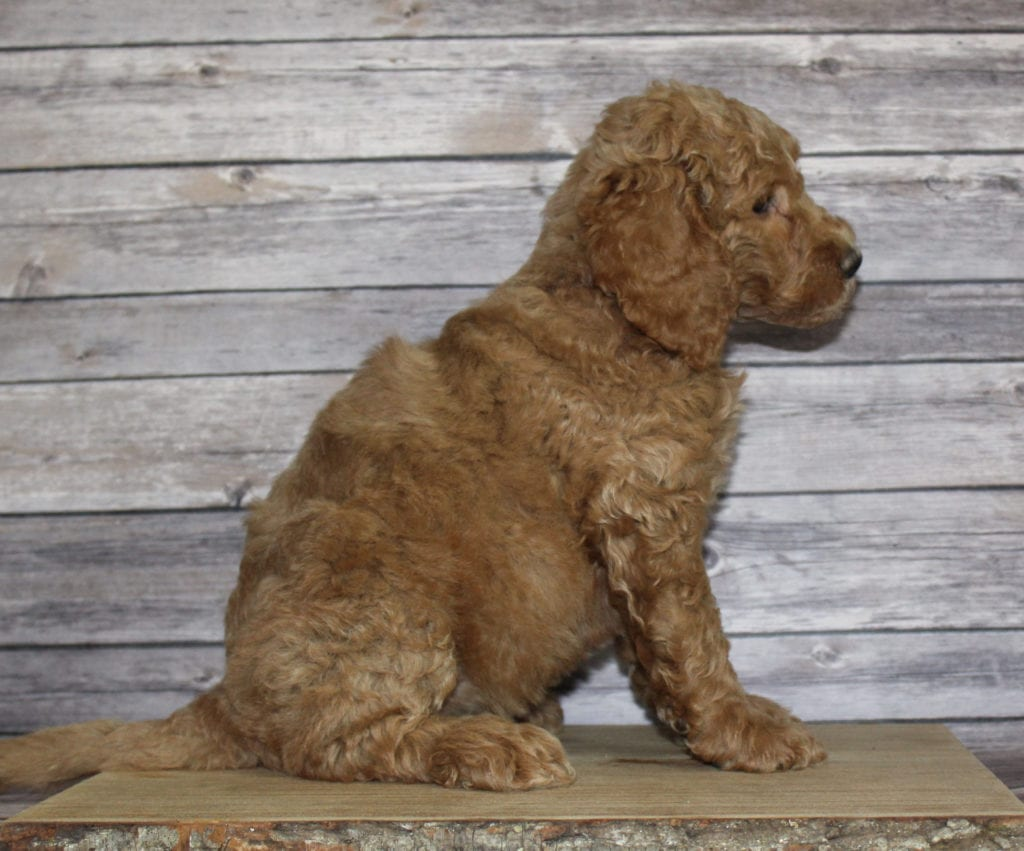 Molly is an F2B Irish Goldendoodle that should have  and is currently living in Nebraska