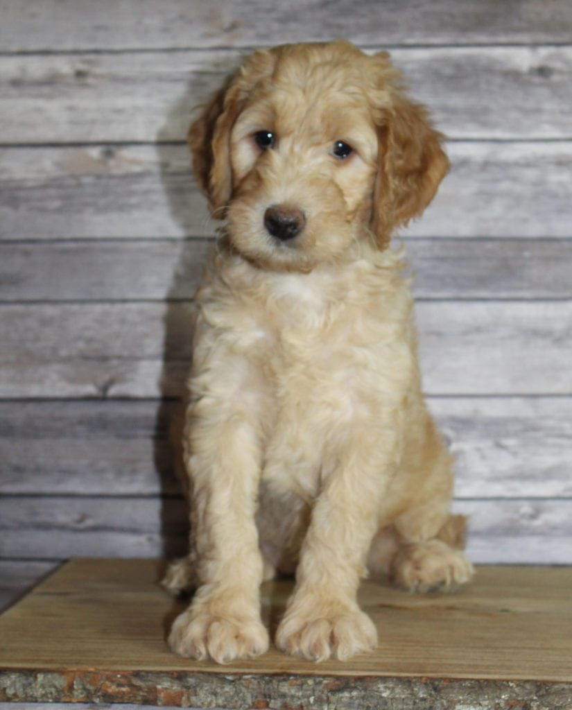 A picture of a Milly, one of our Mini Irish Goldendoodles puppies that went to their home in Arizona