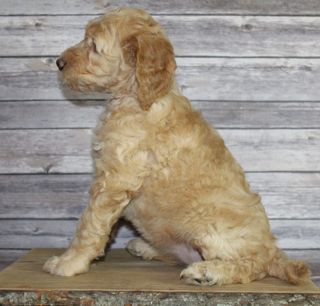 Milly is an F2B Irish Goldendoodle that should have  and is currently living in Arizona