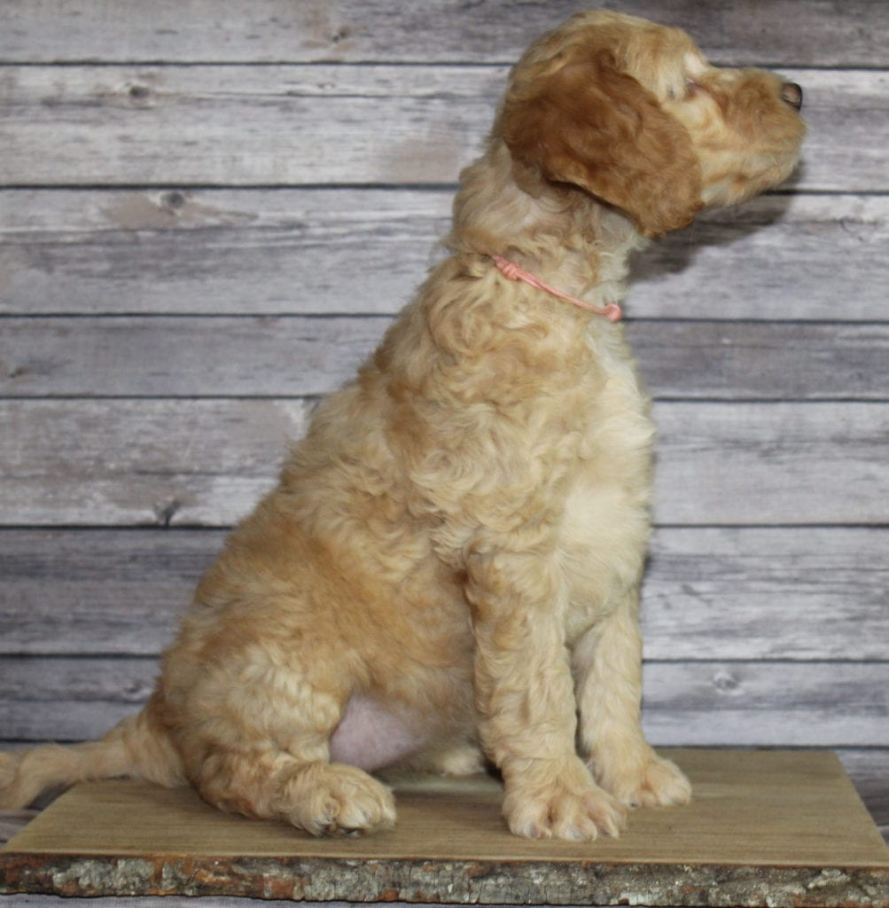 Milly came from Tatum and Murphy's litter of F2B Irish Goldendoodles