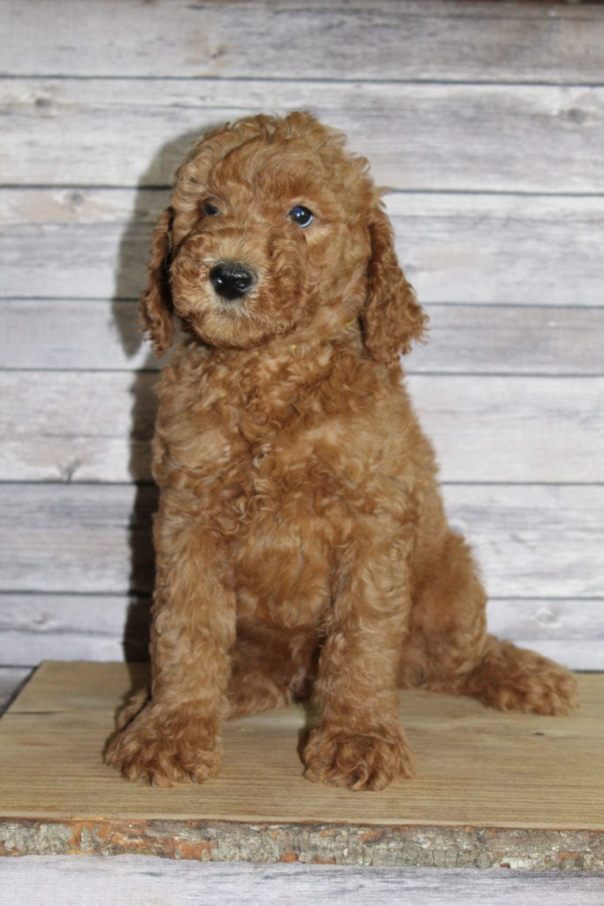 A picture of a Mac, one of our Mini Irish Goldendoodles puppies that went to their home in Nebraska