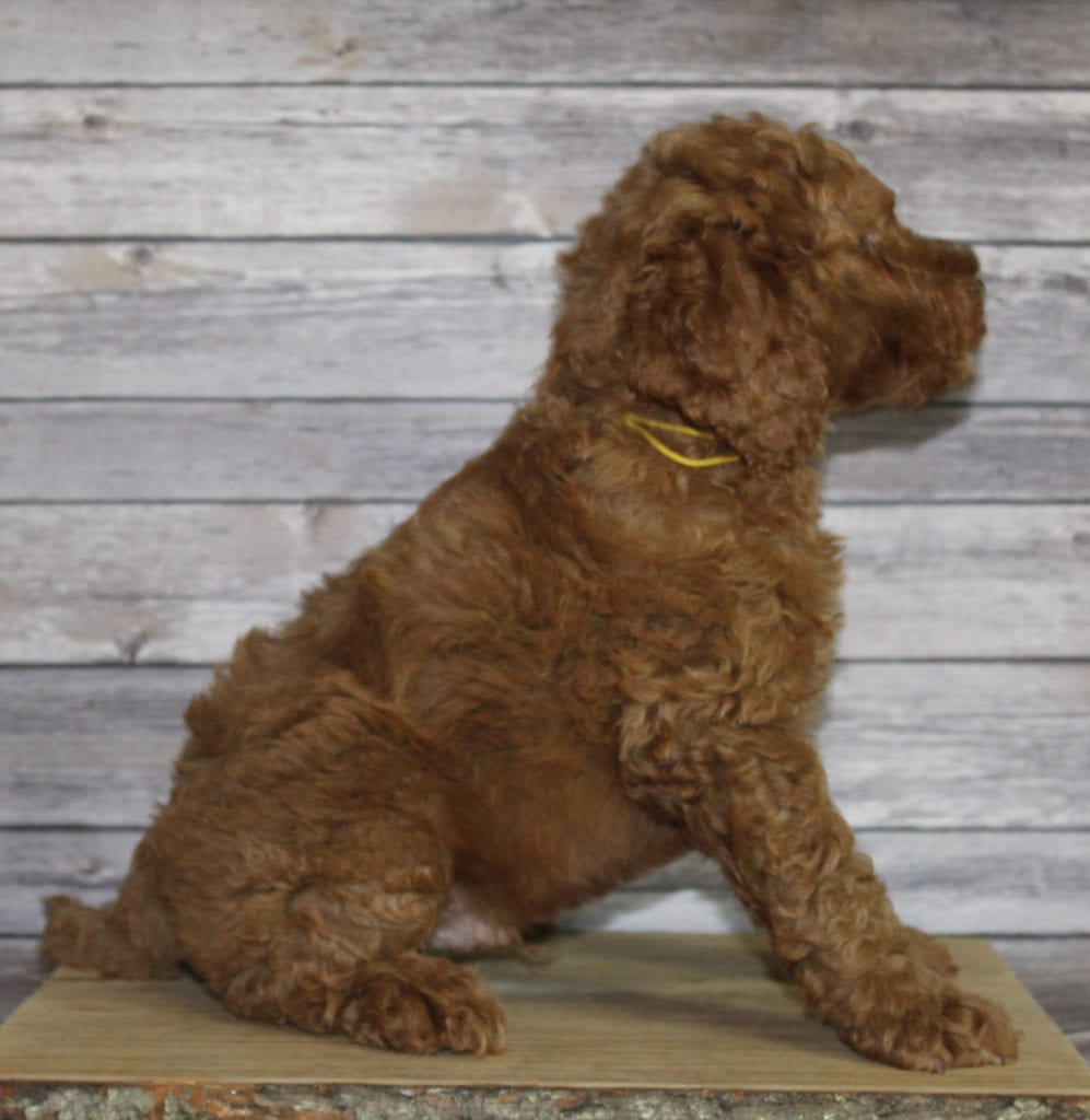 Mac is an F2B Irish Goldendoodle that should have  and is currently living in Nebraska