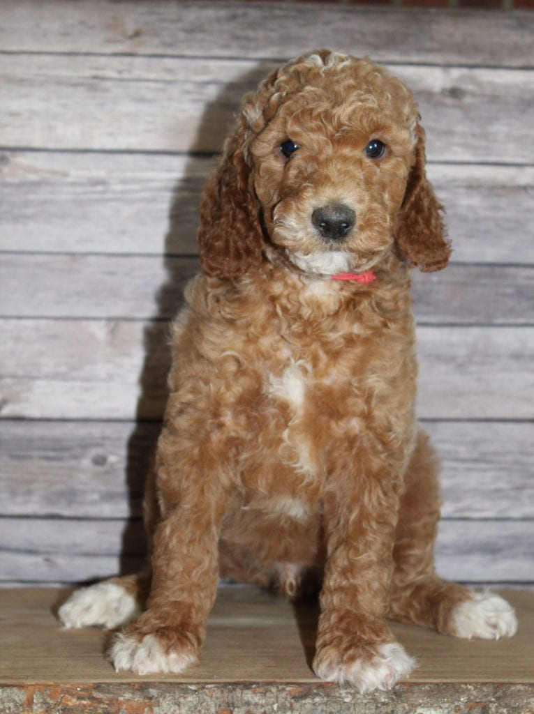 A picture of a Maverick, one of our Mini Irish Goldendoodles puppies that went to their home in Virginia