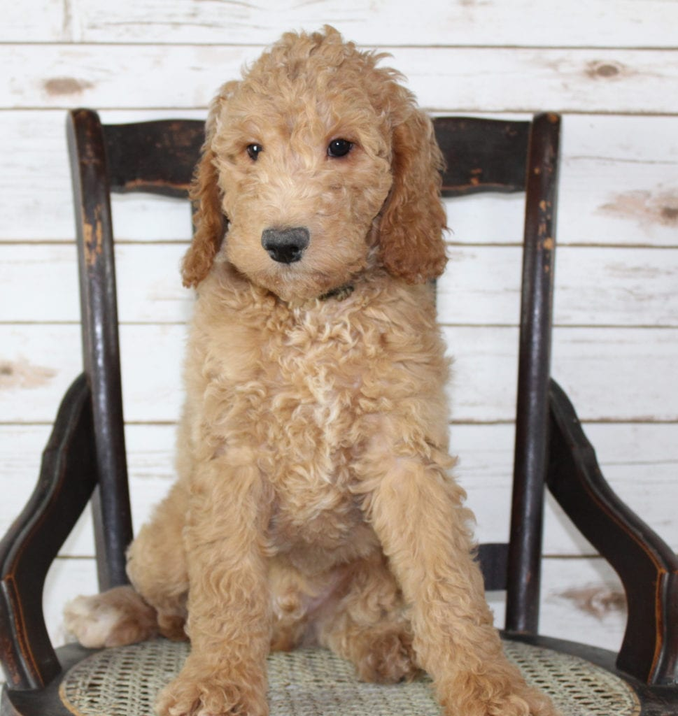 A picture of a Milo, one of our Mini Irish Goldendoodles puppies that went to their home in Nebraska