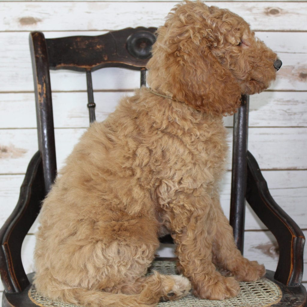 "Milo is an F2B Irish Goldendoodle that will be hypoallergenic. Read more about what a dog being hypoallergenic means on our latest blog post, ""The New Breed Everyone Seems to Want"""