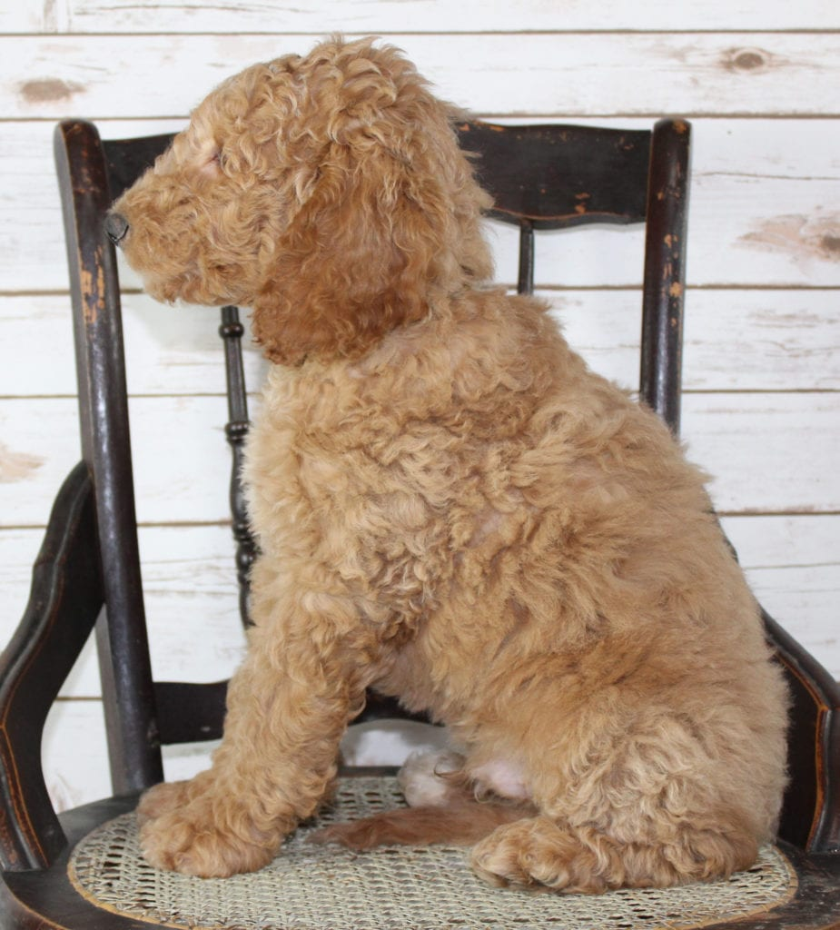 Milo came from Tatum and Murphy's litter of F2B Irish Goldendoodles