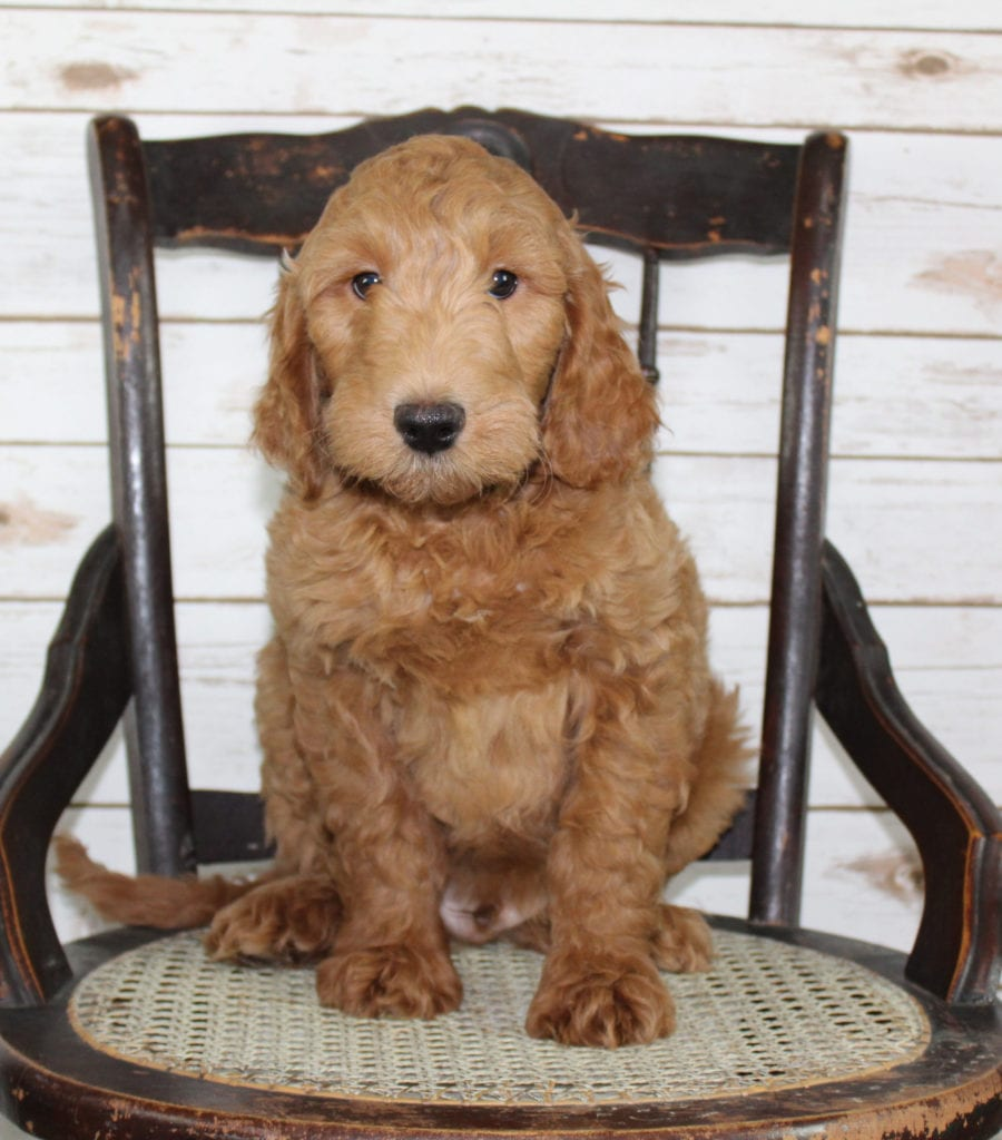 """Murphy is an F2B Irish Goldendoodle that will be hypoallergenic. Read more about what a dog being hypoallergenic means on our latest blog post, """"The New Breed Everyone Seems to Want"""""""