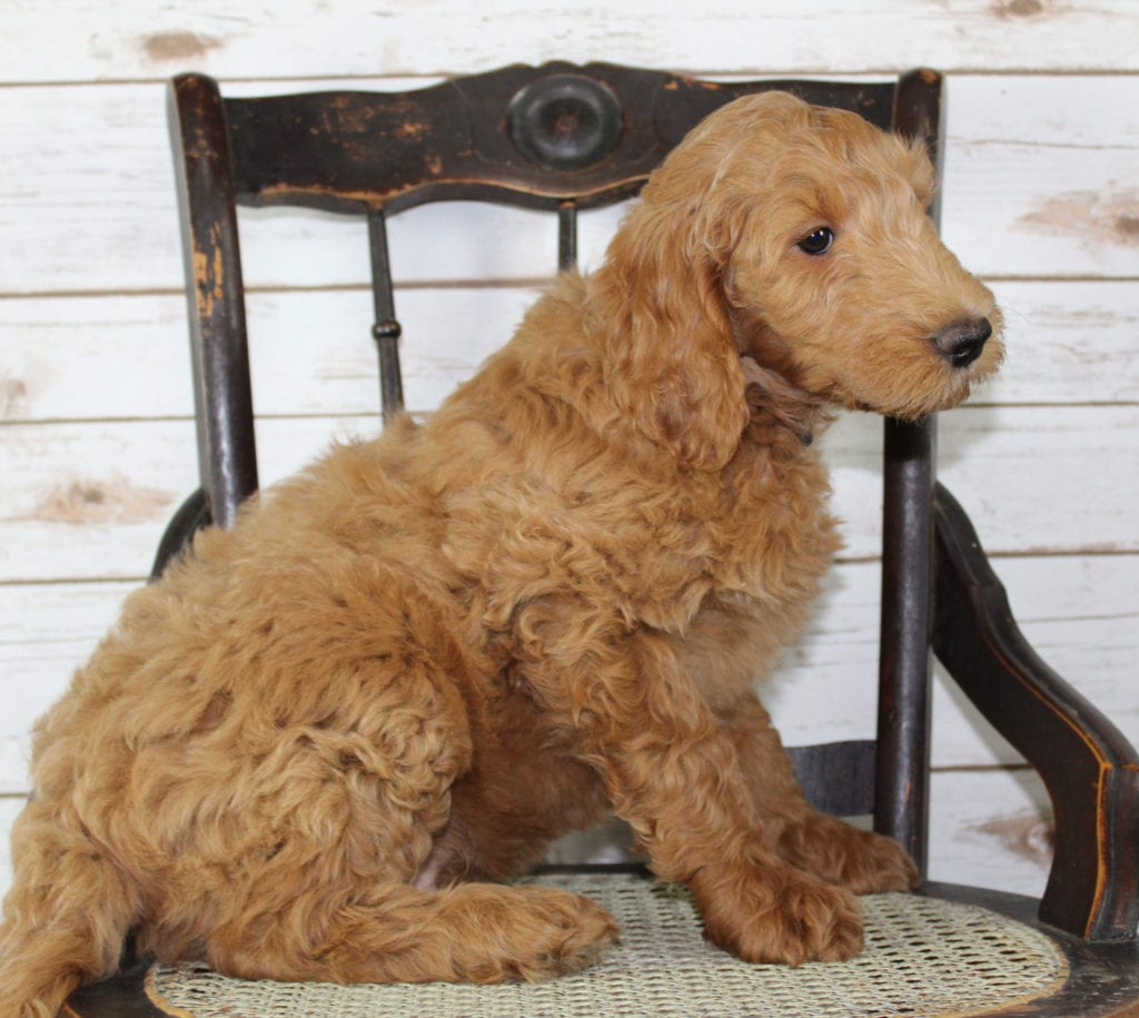 Murphy came from Tatum and Murphy's litter of F2B Irish Goldendoodles