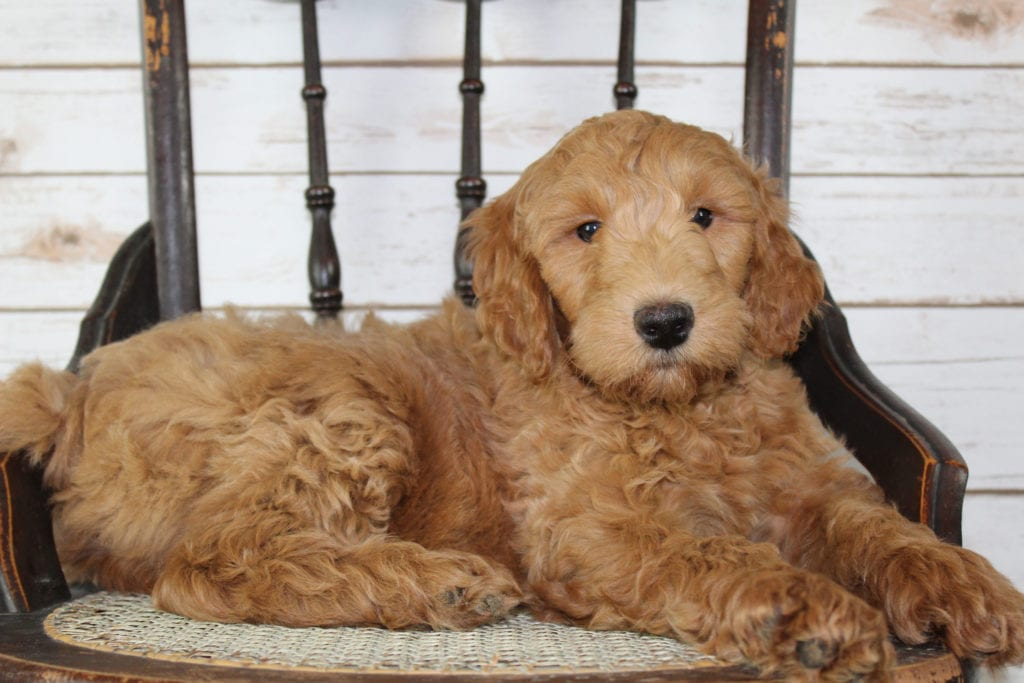A picture of a Murphy, one of our Mini Irish Goldendoodles puppies that went to their home in New York