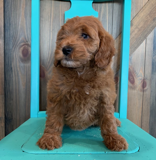 A picture of a Nola, one of our Mini Irish Doodles puppies that went to their home in Minnesota