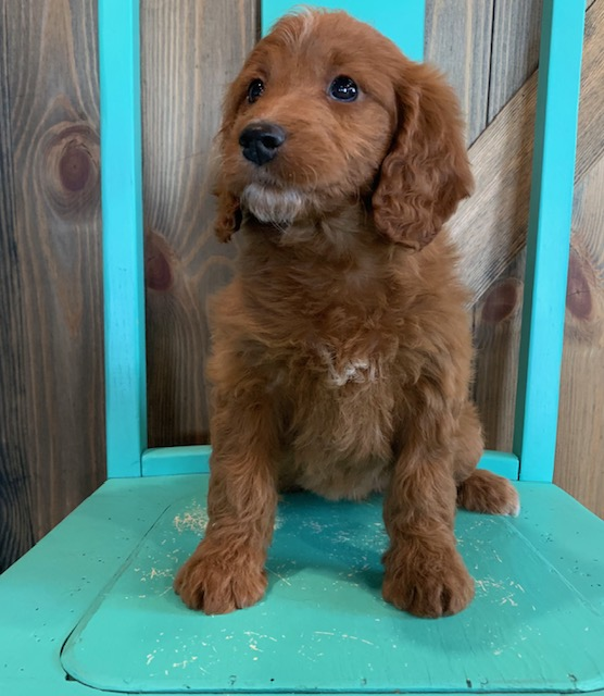 Another great picture of Nyree, a Irish Doodles puppy