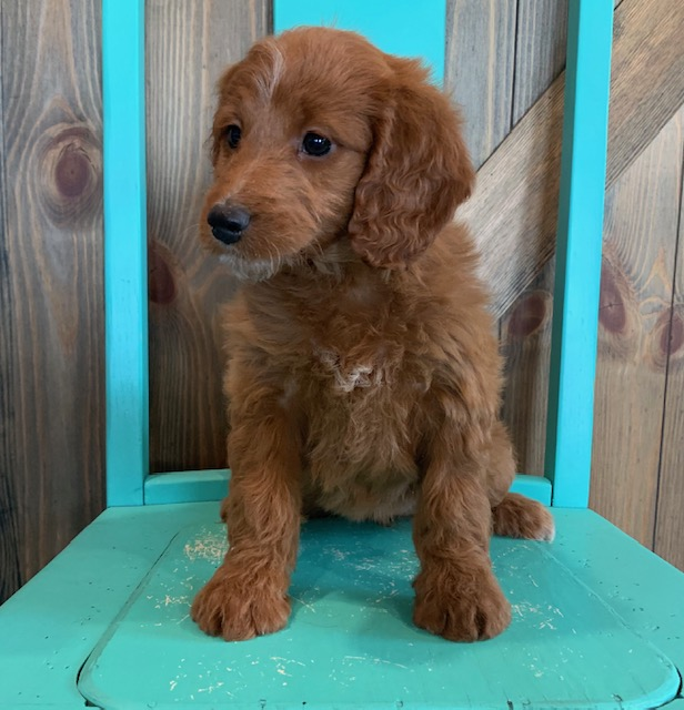 """Nyree is an F1 Irish Doodle that will be hypoallergenic. Read more about what a dog being hypoallergenic means on our latest blog post, """"The New Breed Everyone Seems to Want"""""""
