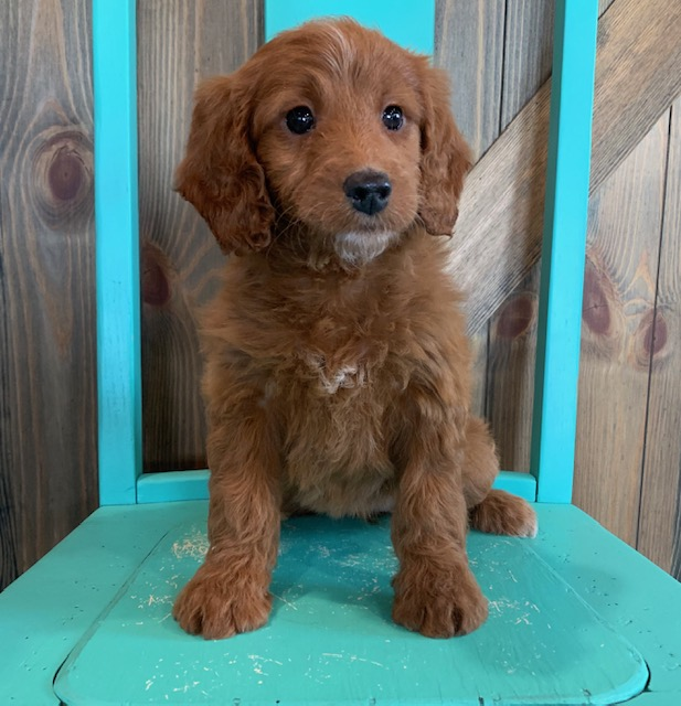 A picture of a Nyree, one of our Mini Irish Doodles puppies that went to their home in Nebraska