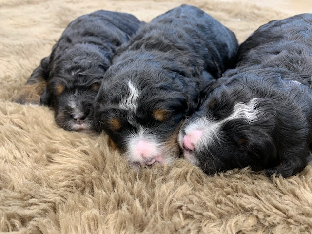 Mini Bernedoodle Puppies For Sale | Bernedoodle Breeder from