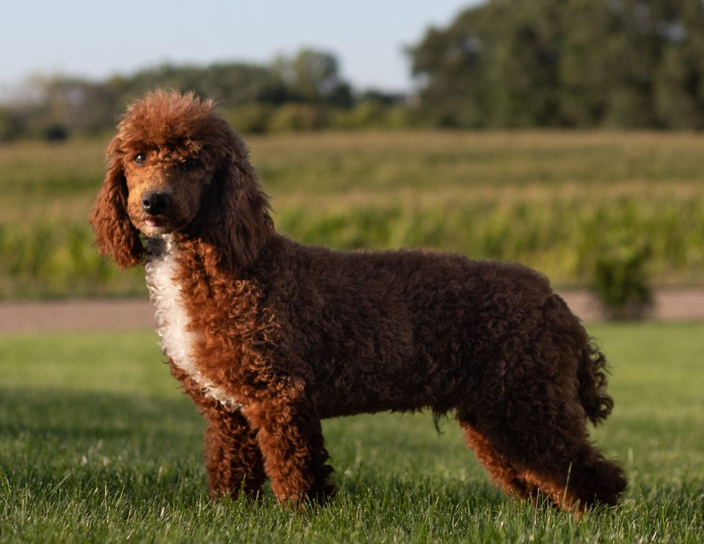 Cavapoos bred in in Iowa by Poodles 2 Doodles