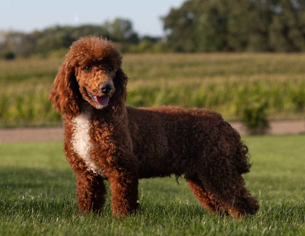 Mini Irish Doodles with hypoallergenic fur due to the Poodle in their genes. These Irish Doodles are of the F1 generation. For more info on generations, view our specific breed page for Irish Doodles.