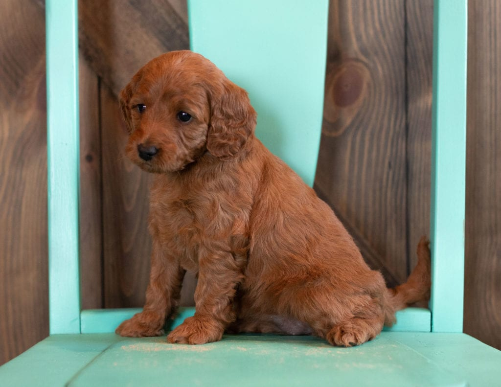 A picture of a Nina, one of our Mini Irish Doodles puppies