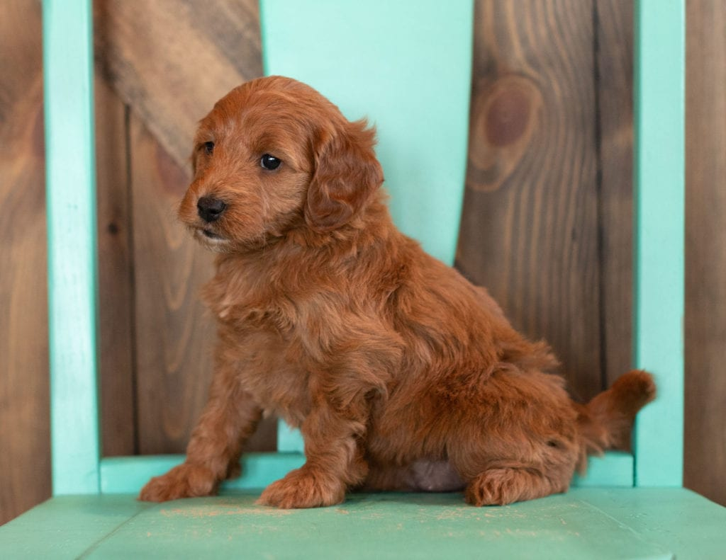 A picture of a Nola, one of our Mini Irish Doodles puppies