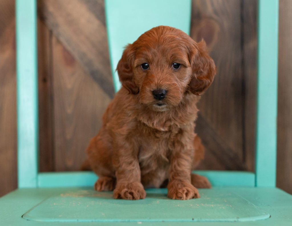 """Nola is an F1 Irish Doodle that will be hypoallergenic. Read more about what a dog being hypoallergenic means on our latest blog post, """"The New Breed Everyone Seems to Want"""""""